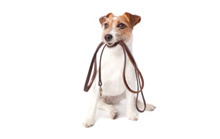 Little Dog with Lead Image in his mouth